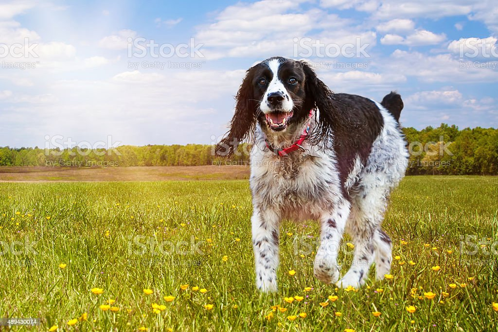 Springer Spaniel Dog Running In Field stock photo