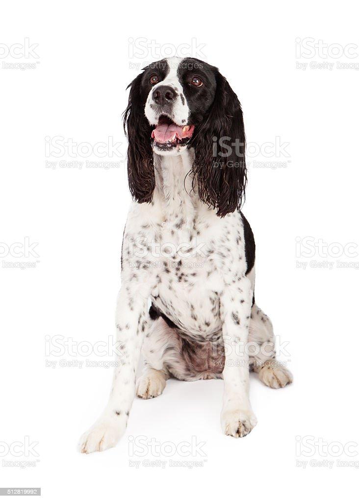 Springer Spaniel Dog Sitting Over White stock photo