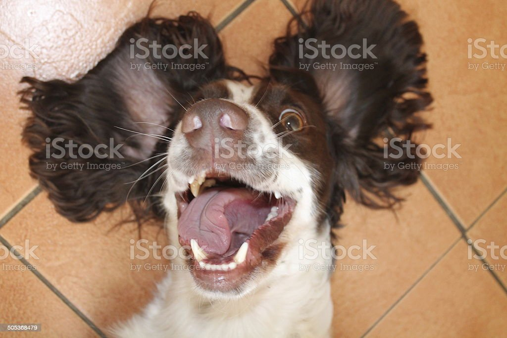 Springer Spaniel Happy stock photo