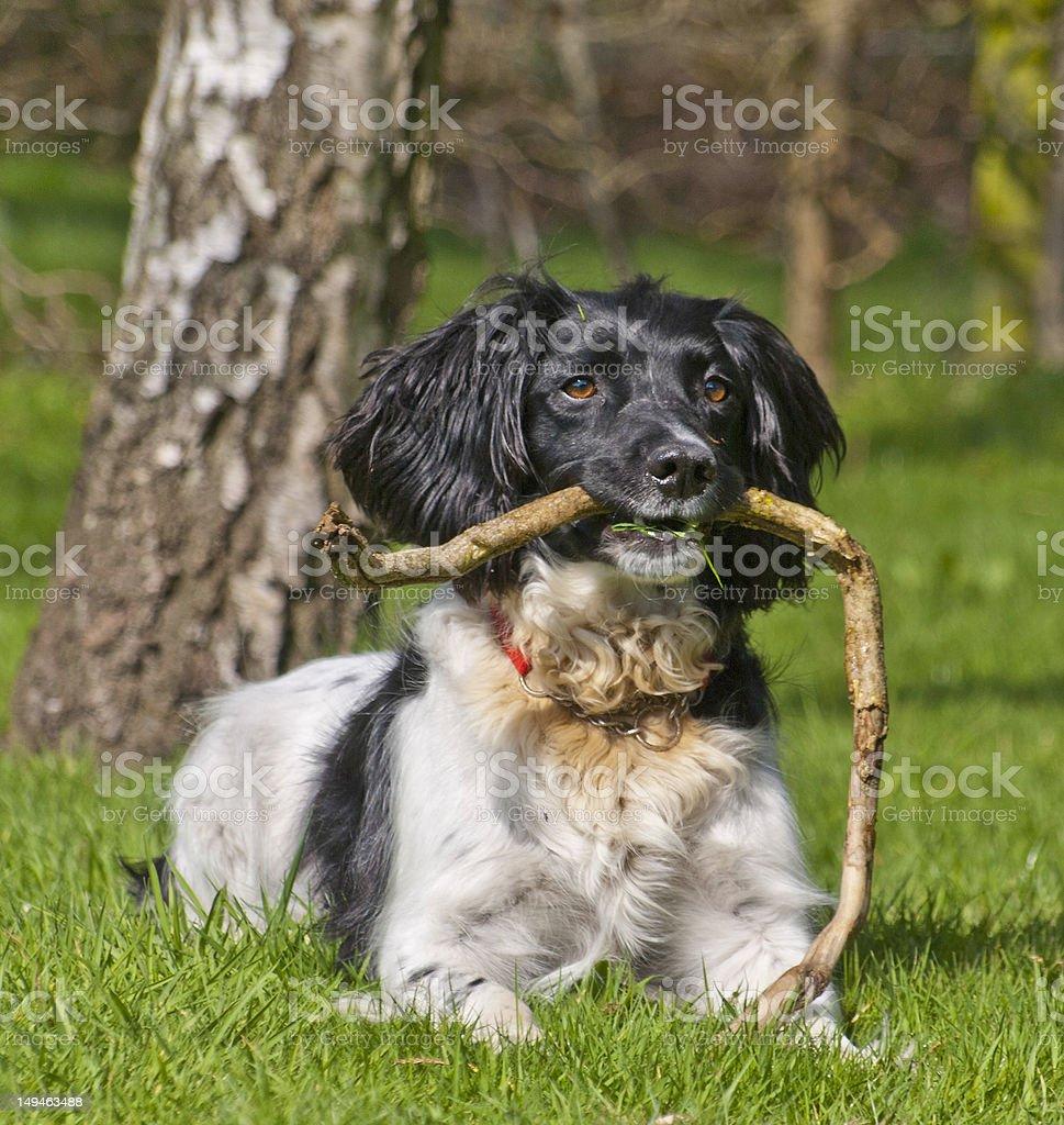 Springer Spaniel royalty-free stock photo