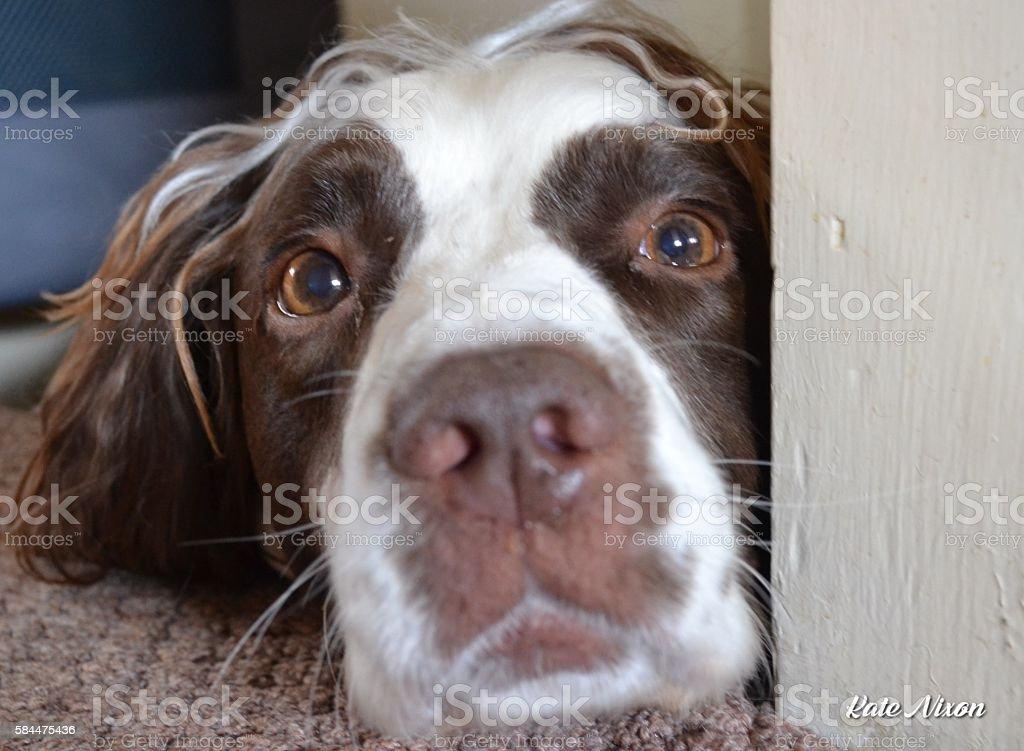 Springer Spaniel stock photo