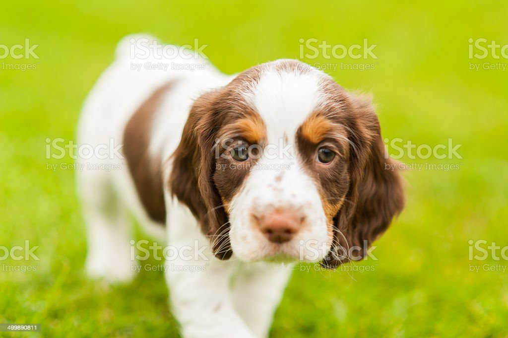 Springer Spaniel Pup stock photo