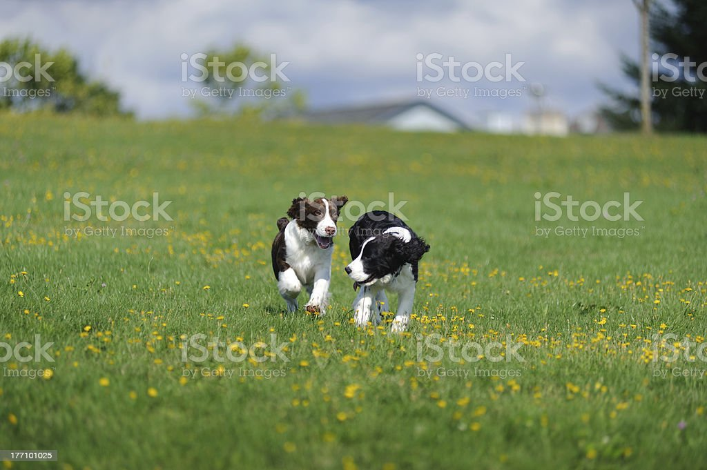 Springer Spaniel Puppies Play in a Field royalty-free stock photo