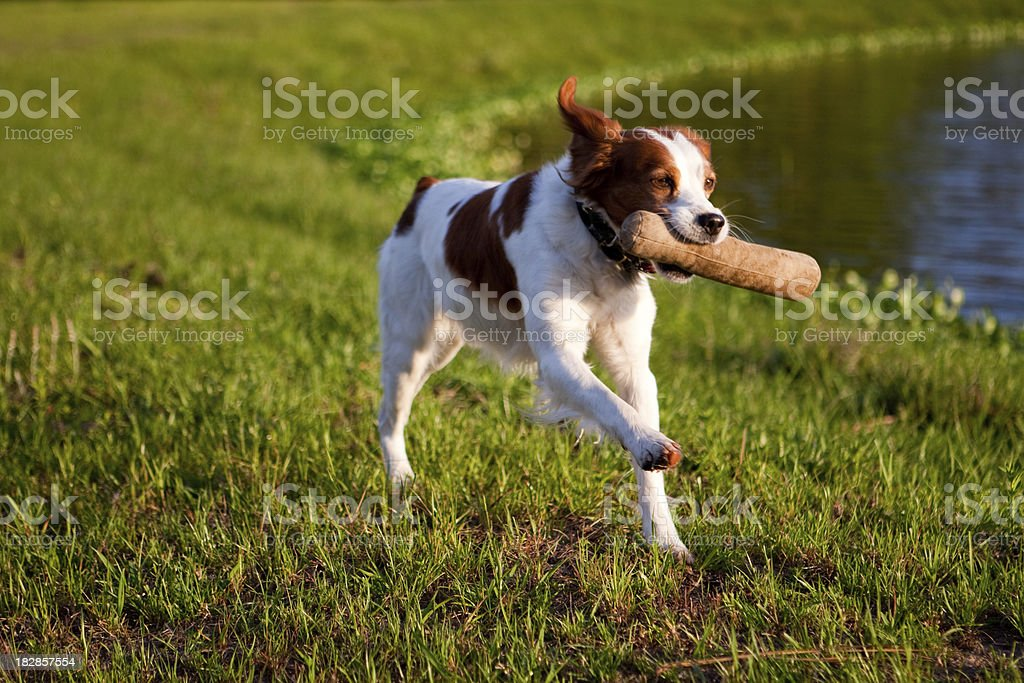 Springer Spaniel retrieving stock photo