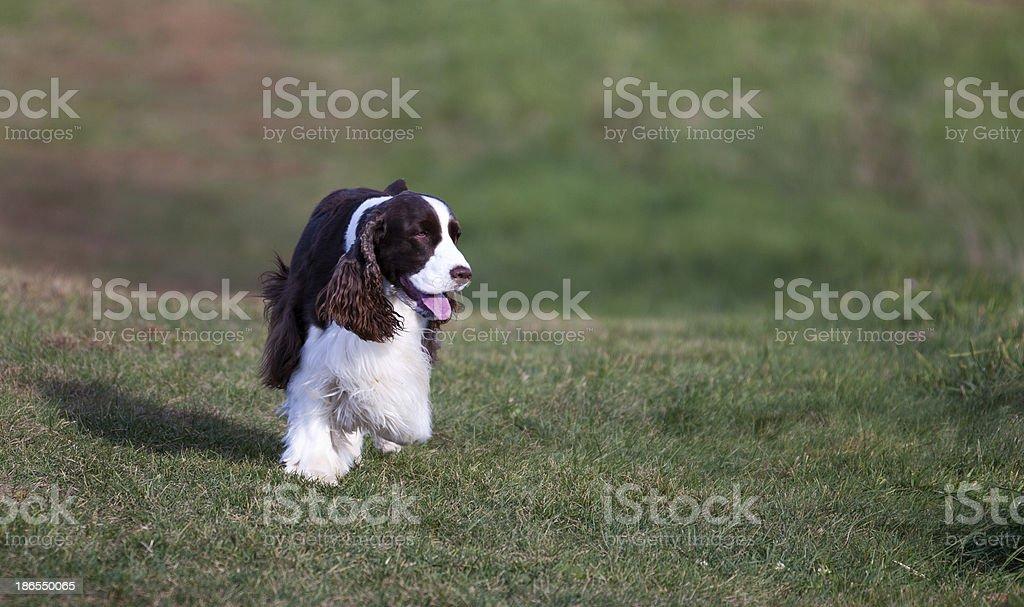 Springer Spaniel Trotting on Knoll stock photo