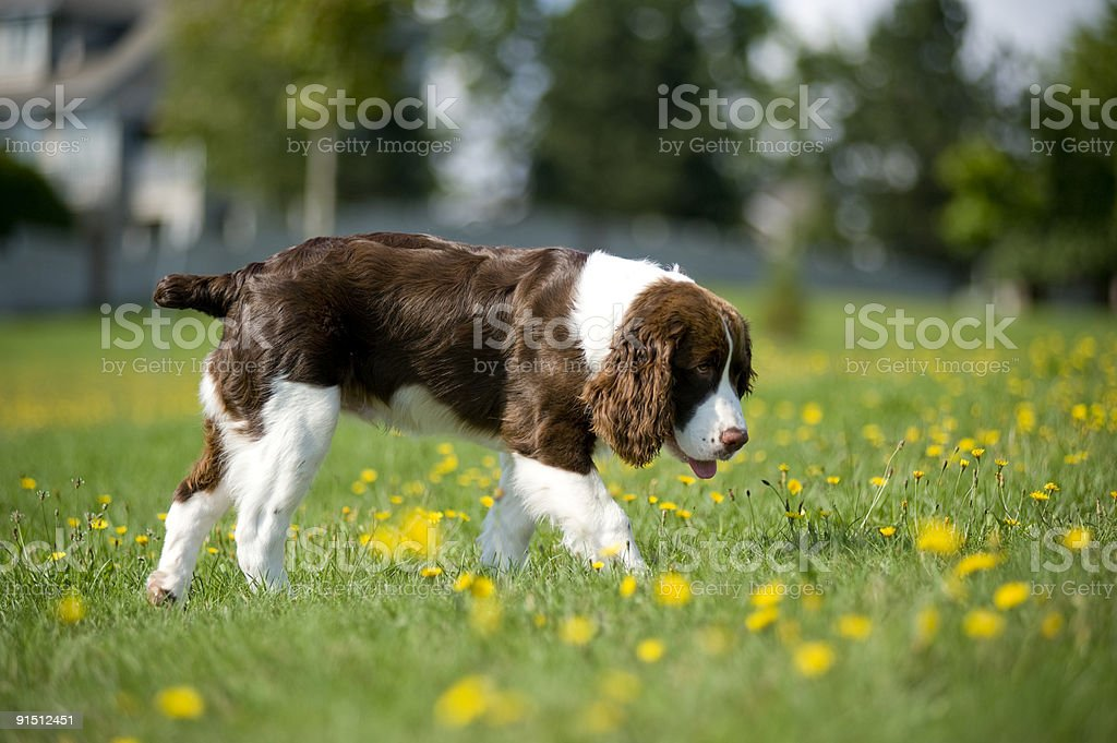 Springer Spaniel walks in the daisies royalty-free stock photo
