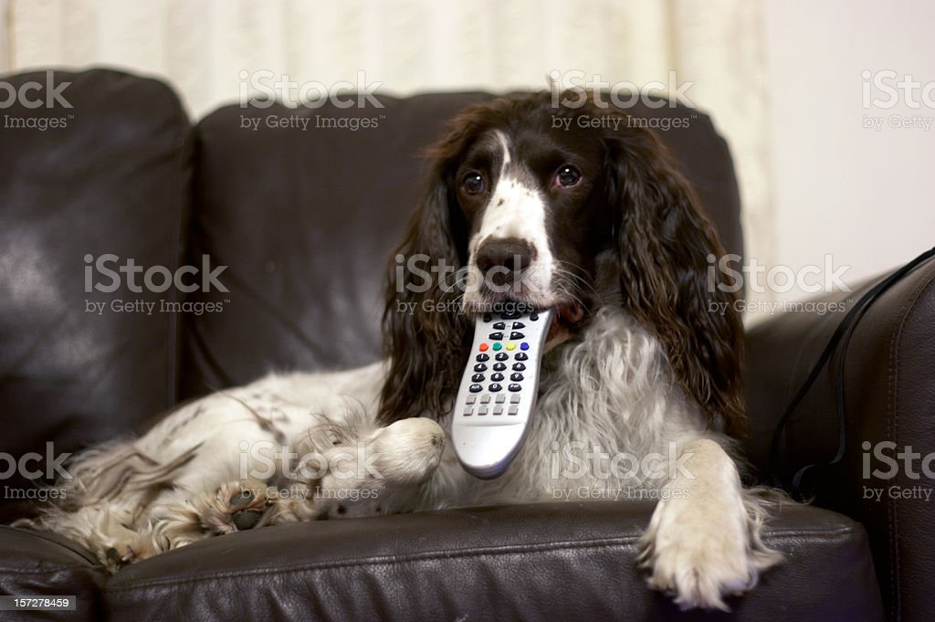 Springer spaniel with TV remote stock photo
