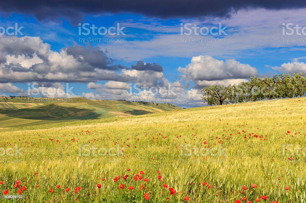 RURAL LANDSCAPE SPRING.Olive grove in the cornfield with poppies.ITALY stock photo