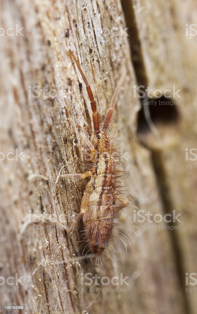 Springtail (Collembola) sitting on wood, extreme close up royalty-free stock photo