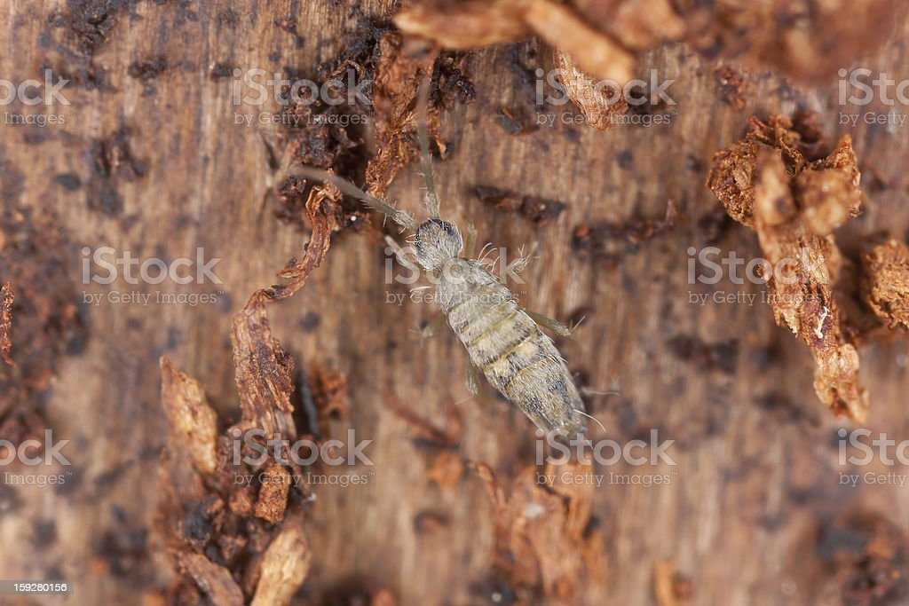 Springtail (Collembola) sitting on wood, extreme close-up royalty-free stock photo