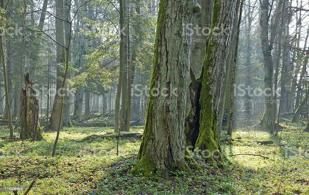 Springtime at old natural forest royalty-free stock photo