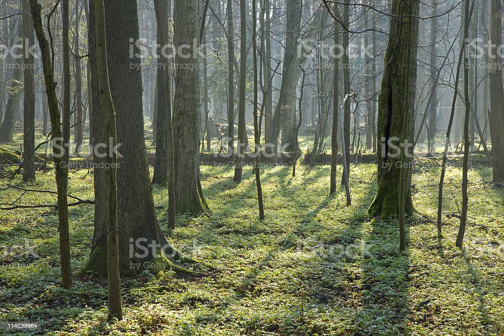 Springtime at old natural forest stock photo