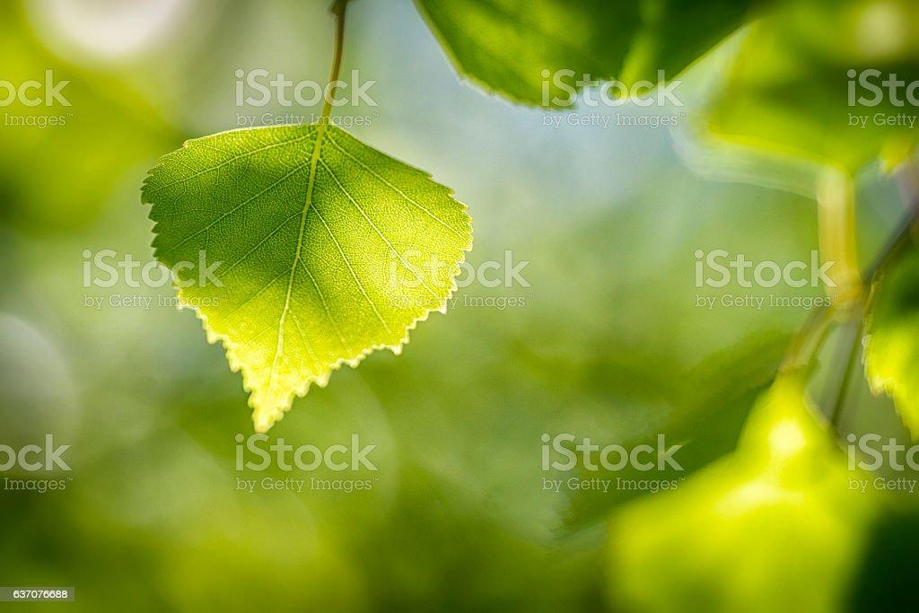 Springtime Birch tree stock photo