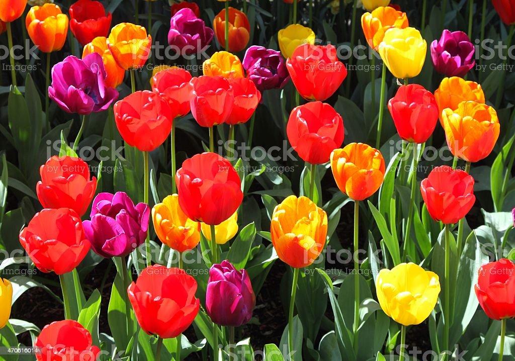 Springtime Burst Of Colorful Tulips stock photo