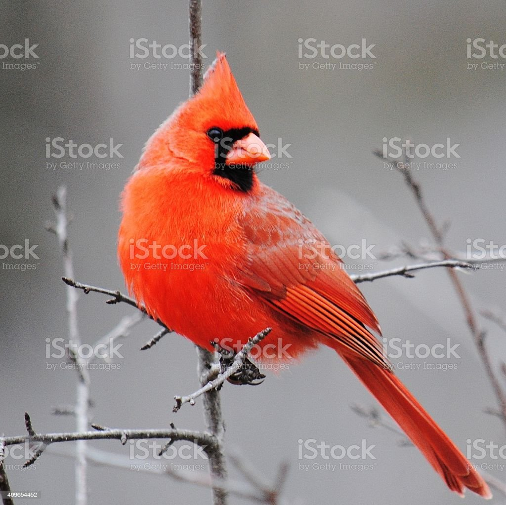 Springtime Cardinal - Square Composition stock photo