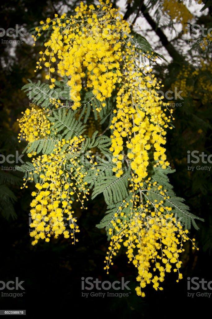 Springtime close-up mimosas, acacia tree. stock photo