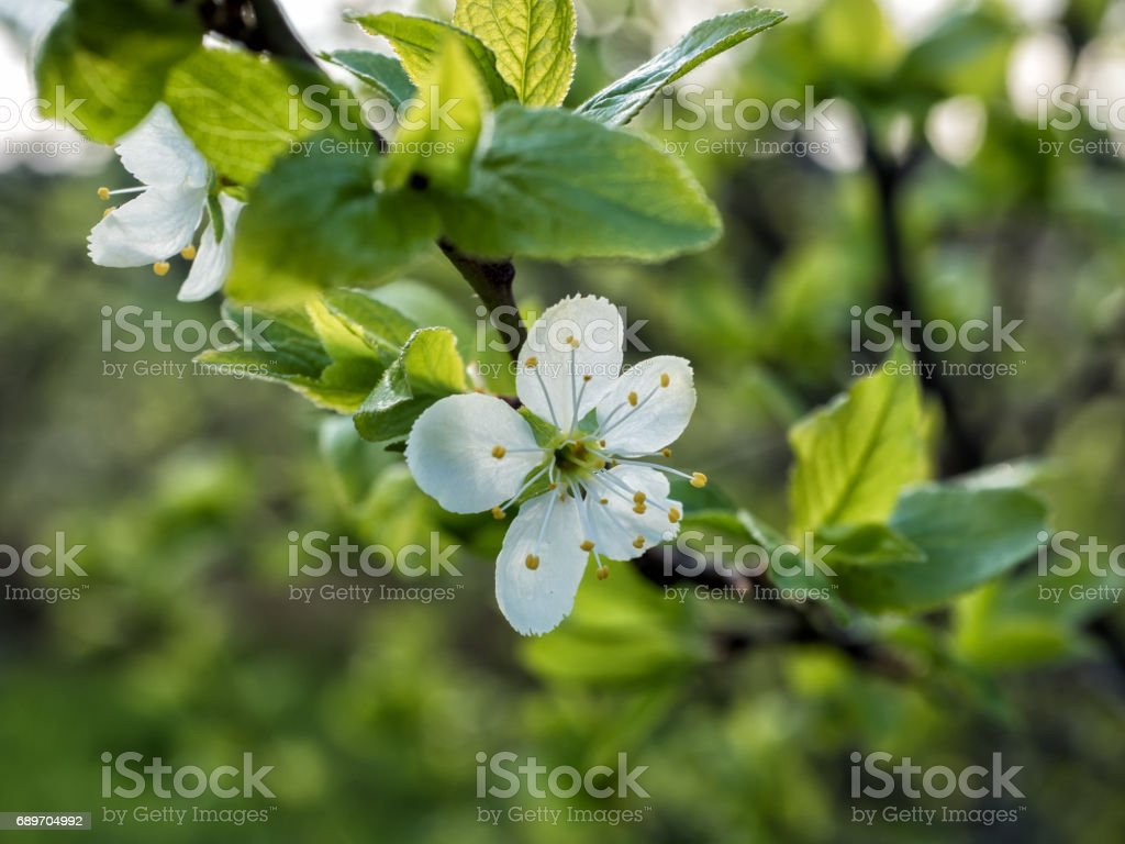 Springtime: close-up of plum blossom stock photo