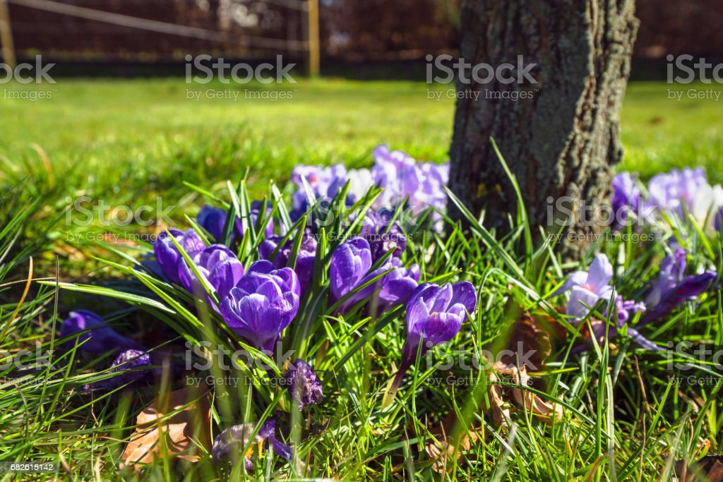 Springtime crocus flowers in a garden stock photo