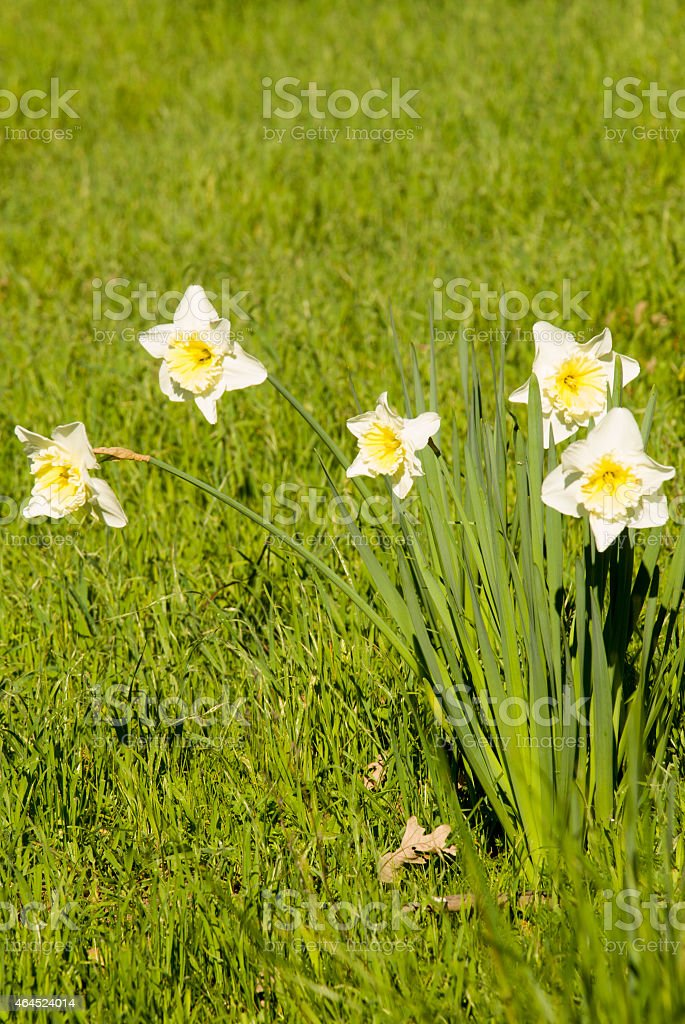 Springtime Daffodils in green lawns rural area Healdsburg California stock photo