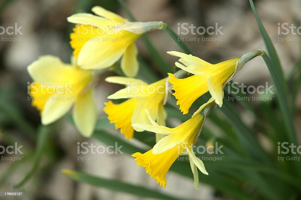 Springtime daffodils royalty-free stock photo