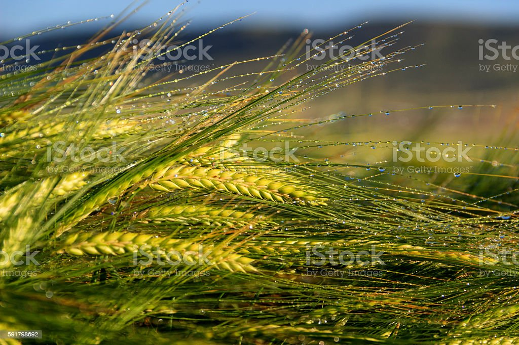 Springtime. Ears of cereal wheat wrapped in dew.Italy,Apulia. stock photo