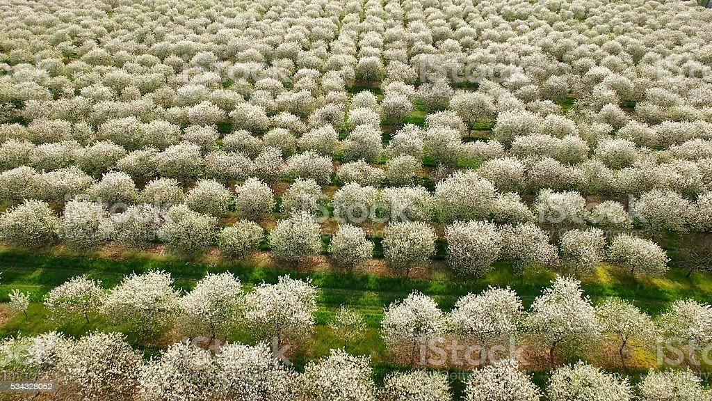 Springtime in Door County Wisconsin, cherry tree orchards blossoming. stock photo