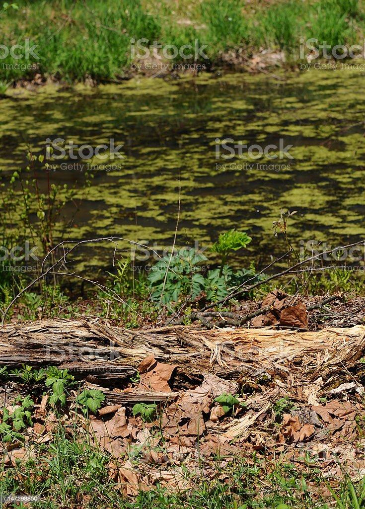 Primavera no pântano foto royalty-free