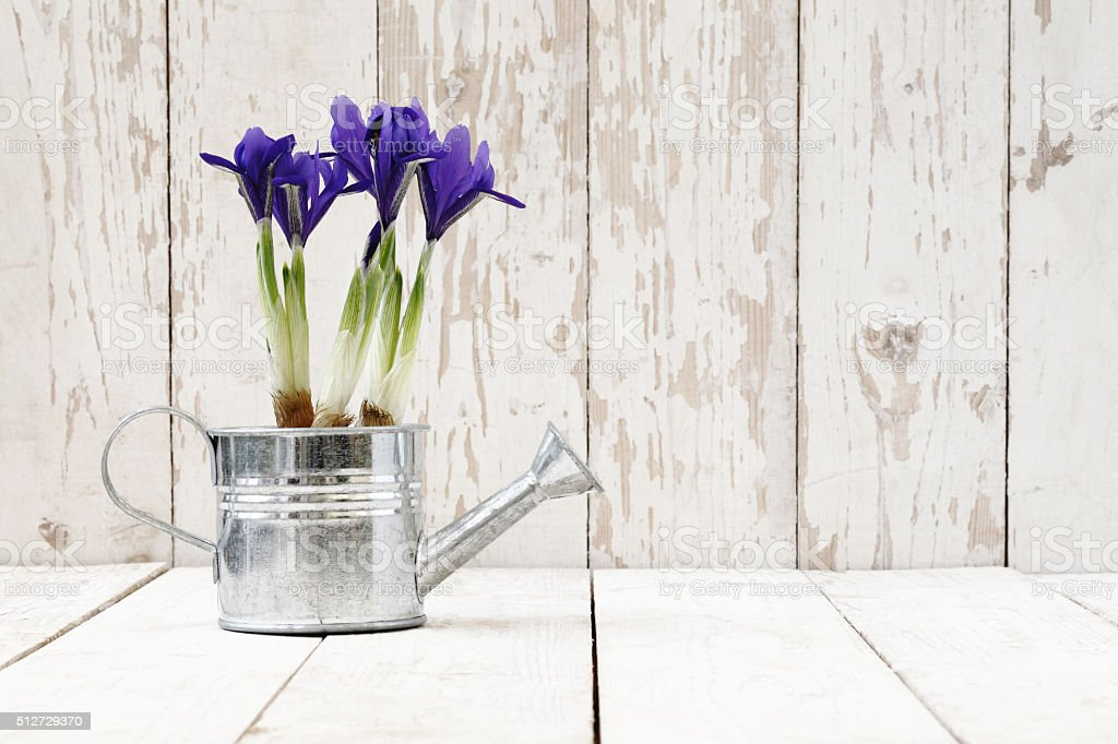 springtime, iris potted flowers in watering can on wooden white stock photo