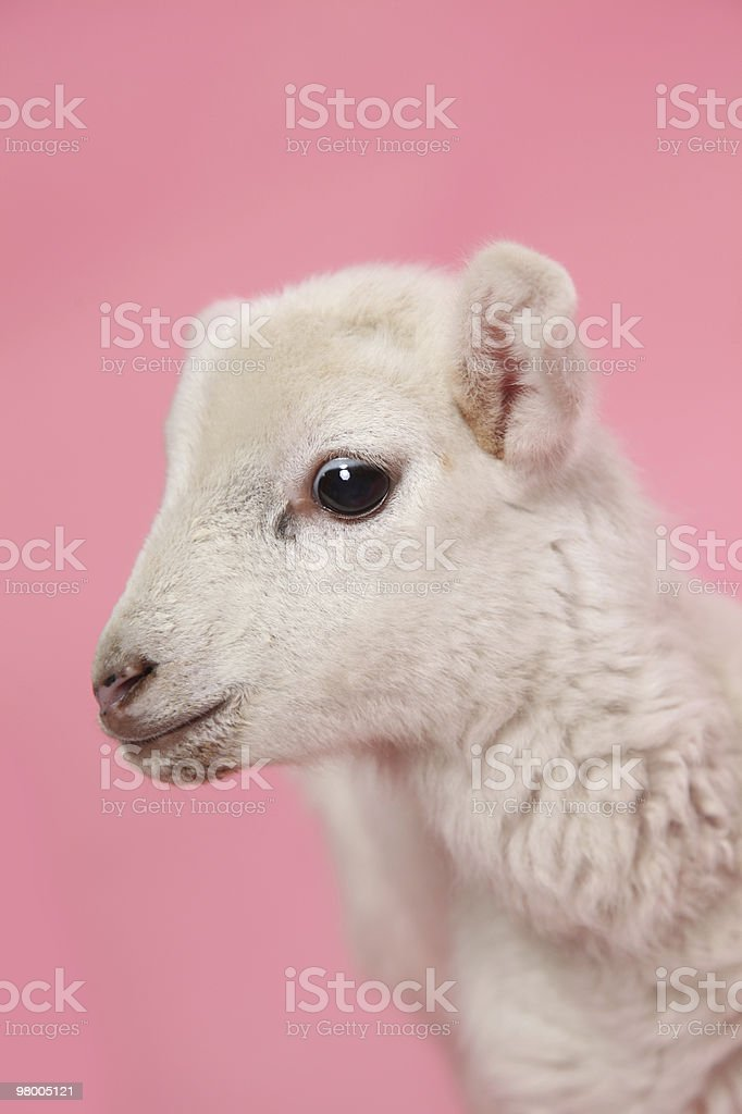 Springtime Lamb stock photo