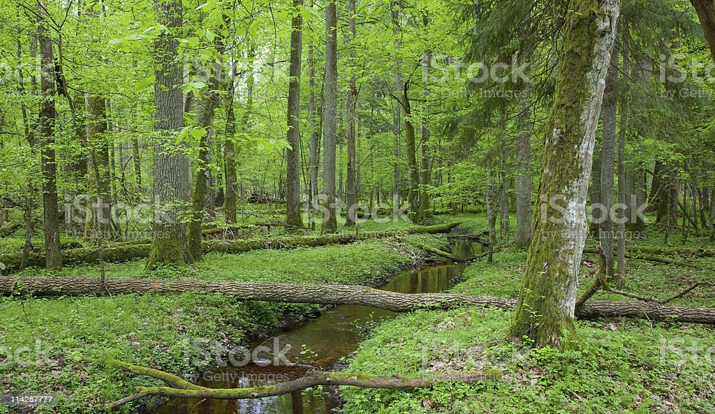 Springtime look of natural deciduous stand with little stream stock photo
