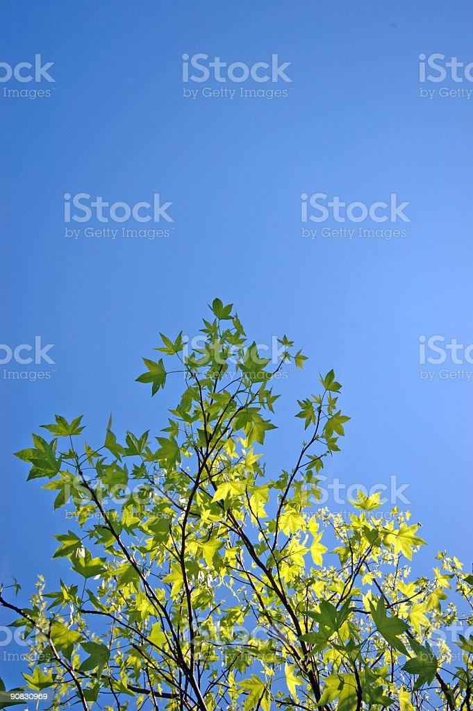 Springtime Maple Leaves royalty-free stock photo