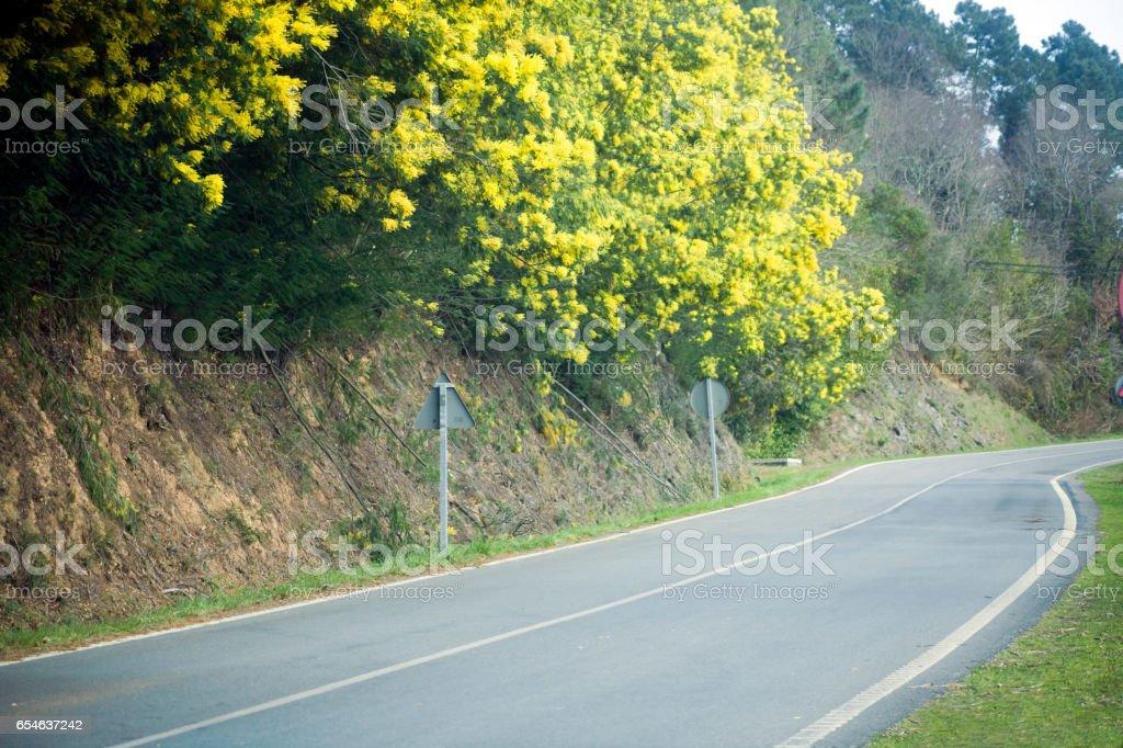 Springtime mimosas, acacia tree,  roadside of a country road. stock photo