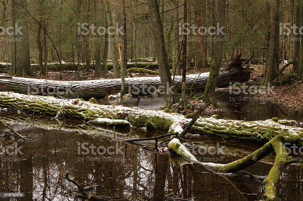 Springtime morning in wetland forest stock photo