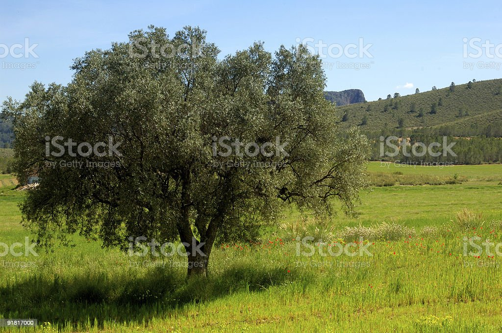 Springtime: old olive tree and wildflowers royalty-free stock photo