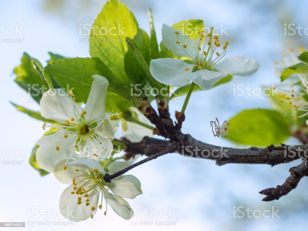 Springtime: Plum tree with blossoms and small spider. Shallow depth of field. stock photo