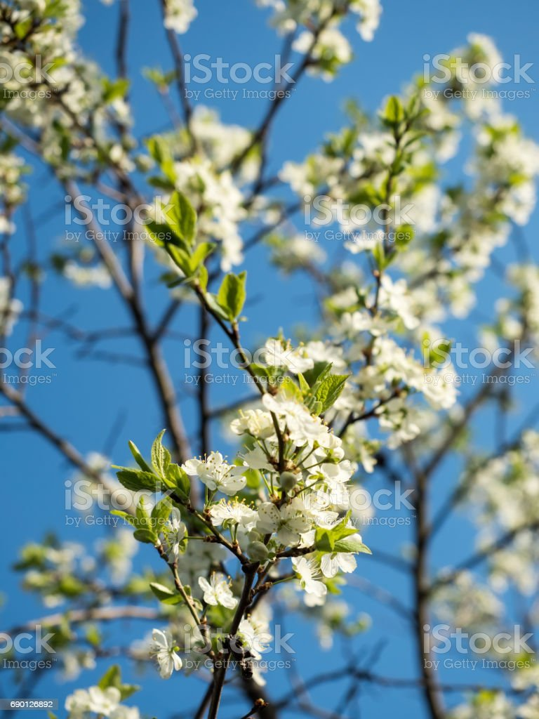 Springtime: Plum tree with blossoms, shallow depth of field stock photo