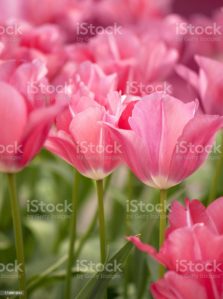 Springtime.  Pretty pink tulips. royalty-free stock photo
