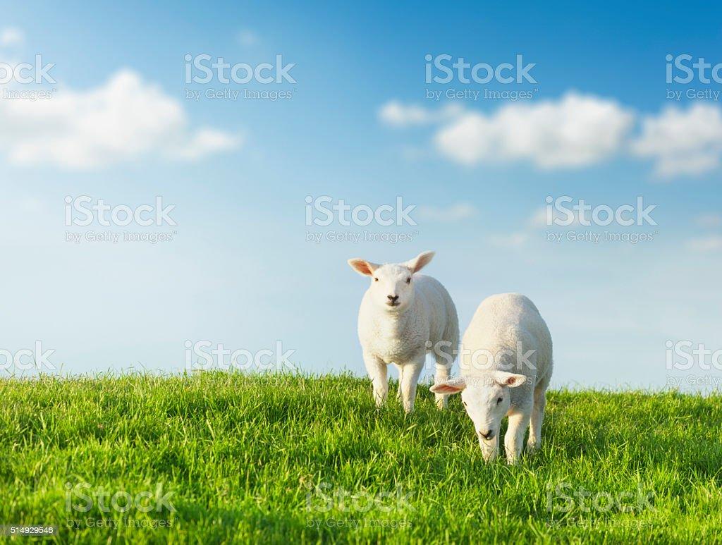Springtime. Sheeps on a green meadow with idyllic blue sky. stock photo