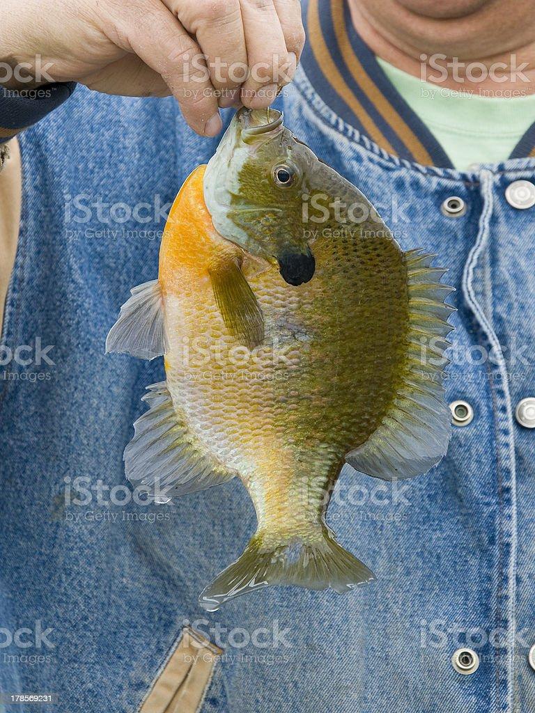 Springtime Sunfish royalty-free stock photo