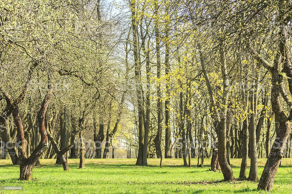 Springtime trees with first leaves in cultivated fruit trees park royalty-free stock photo