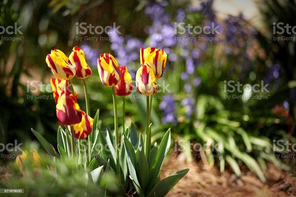 Springtime Tulips stock photo