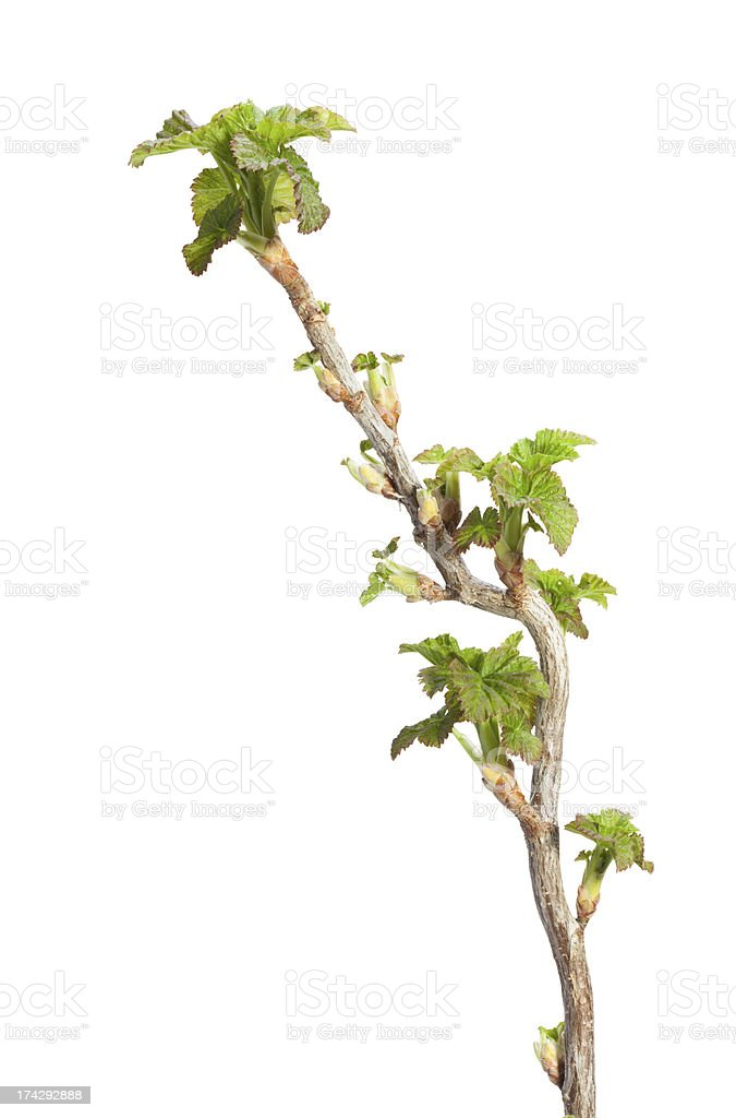 Springtime twig with fresh leaves royalty-free stock photo