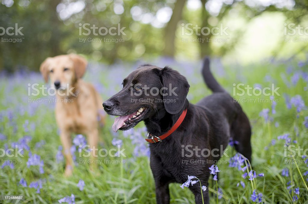Springtime Walk in the Bluebells royalty-free stock photo