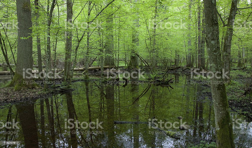 Springtime wet deciduous forest with standing water royalty-free stock photo