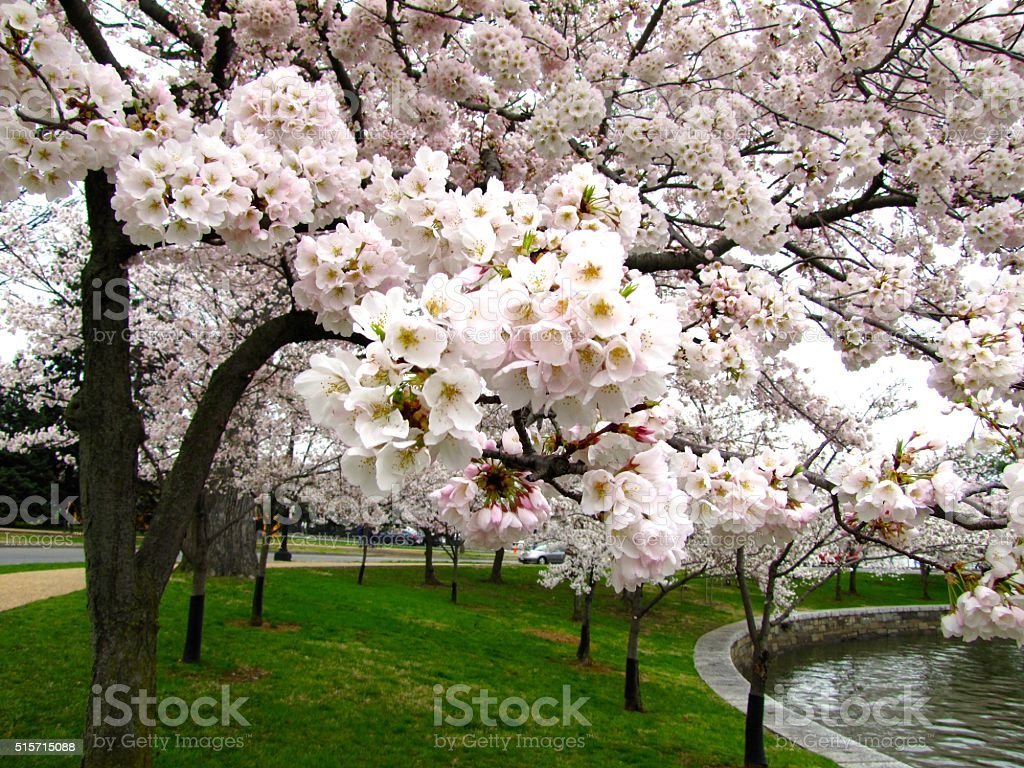 Springtime White Pink Cherry Blossoms Curved Path Water stock photo