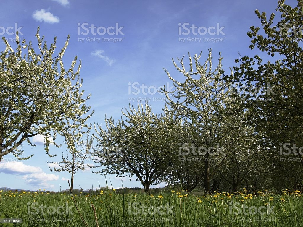 springtime with cherry and apple tree, dandelion before blue sky royalty-free stock photo