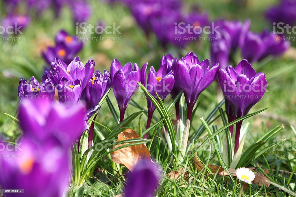 springtime with crocus royalty-free stock photo