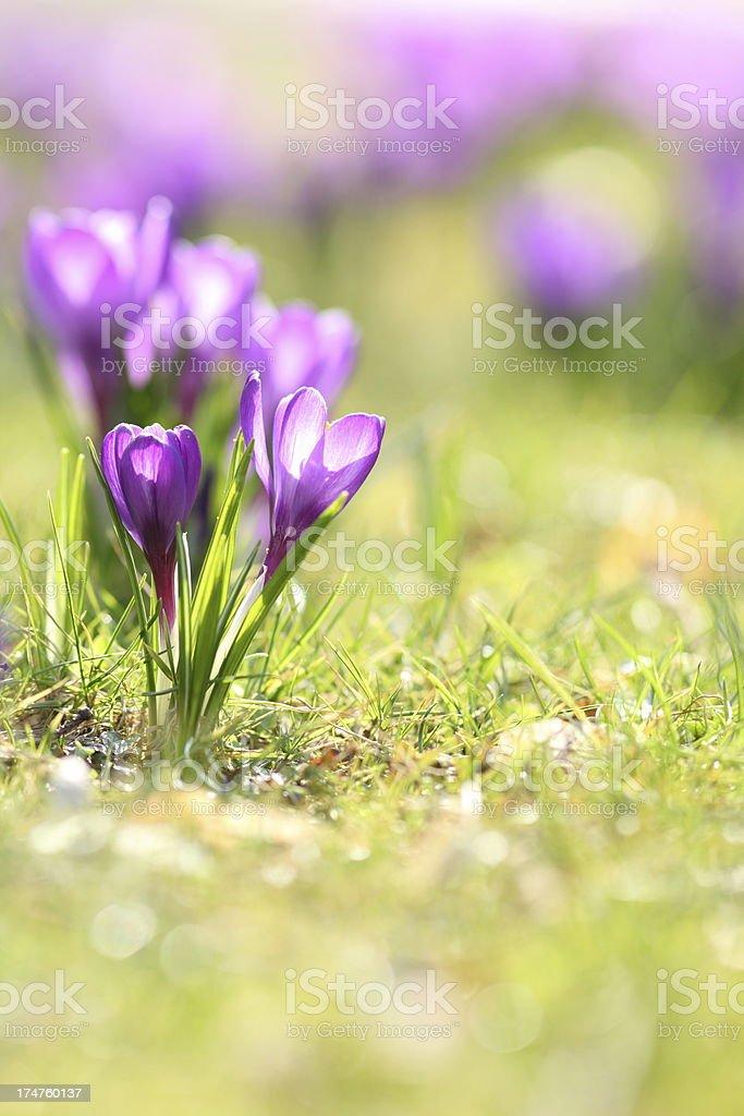 springtime with purple blooming crocus longiflorus on green meadow royalty-free stock photo