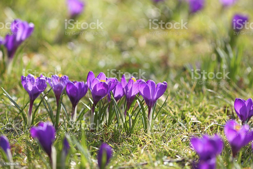 springtime with purple blooming crocus longiflorus on green meadow royalty-free stock photo