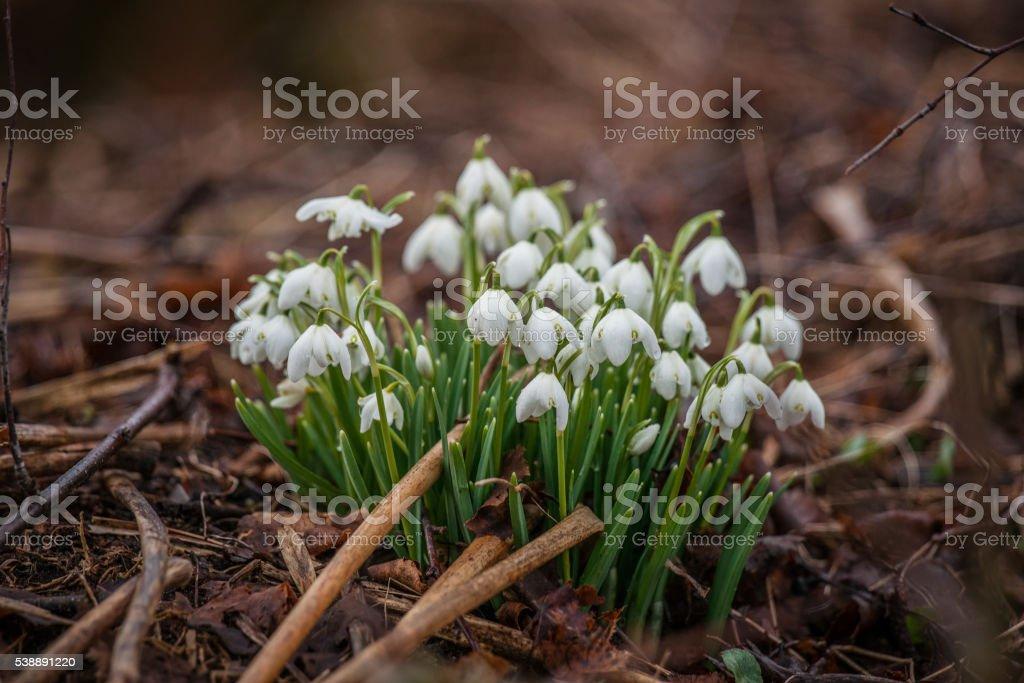 Springtime with snowdrop flowers stock photo
